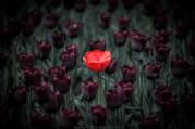 Celldömölkön egyre nagyobb hagyománya van a tavaszi tulipánültetésnek. Különböző színekben, változatos formációkban pompáznak a város utcáin,.