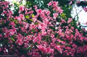 rododendron virágzás